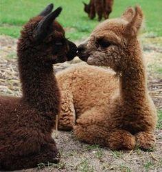 #truelove #alpacas #babyanimals