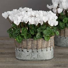 winter white cyclamen vintage style planter by the flower studio | notonthehighstreet.com