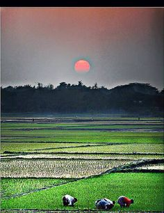 There are many rice fields in Bangladesh, and much of the population work as farmers. Beautiful Places To Visit, Cool Places To Visit, Bangladesh Travel, Mangrove Forest, Countries Of The World, Incredible India, Beautiful Landscapes, Brunei, Cambodia