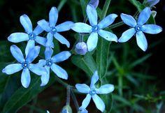 Tweedia caerulea, Blue Star Milkweed vine, 10 seeds, rare turquoise flowers, easy in zones 8 to 10, sun or shade, Oxypetalum, Monarchs by SmartSeeds on Etsy https://www.etsy.com/listing/185784908/tweedia-caerulea-blue-star-milkweed-vine