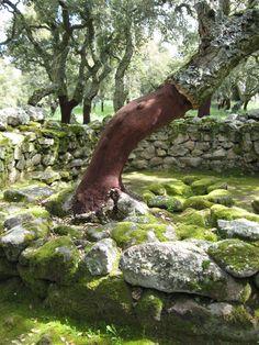 Oude kurkbomen - Romanzesu, Bitti Flora And Fauna, Trees, Plants, Tree Structure, Plant, Wood, Planets