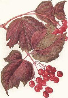 Guelder Rose - Viburnum opulus