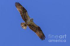 The Soaring Osprey : http://fineartamerica.com/profiles/robert-bales/shop/all/ all/all