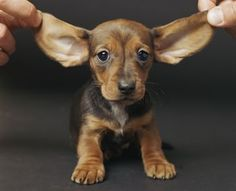 Learn about deaf puppies, what causes deafness in dogs, and how to train a deaf puppy in this article.