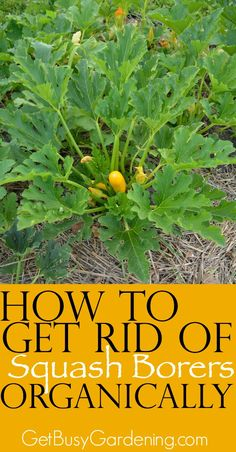 Squash borers might be the number one cause of death for squash plants in the garden and they sure are annoying! Learn the signs of squash borers in your garden and get tips for how to get rid of them organically. How to you control squash borers in your garden? | GetBusyGardening.com: