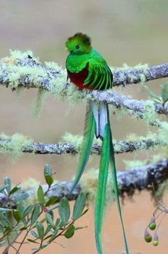 This bird is called a Quetzal. Found in Guatemala, it's national bird. The currency is also named after it.