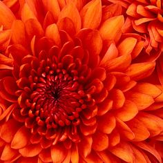 Chrome Themes: Chrysanthemum, floral, orange and pink Flyer Design Online, Orange Flowers, Orange Color, Daisy Flowers, Color Red, Love Is Blue, Cheap Flowers, Xbox 360, Beautiful Flowers