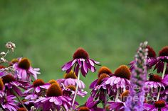 Echinacea Purpures - Available in prints, framed prints, canvas prints, acrylic prints, metal prints, greeting cards.