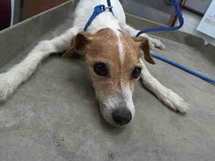ROSCOE (A1674261) I am a male white and brown Terrier. The shelter staff think I am about 8 years old and I weigh 12 pounds. I was found as a stray and I may be available for adoption on 01/26/2015. — Miami Dade County Animal Services. https://www.facebook.com/urgentdogsofmiami/photos/pb.191859757515102.-2207520000.1422089109./914687735232297/?type=3&theater