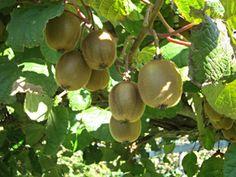 Kiwis (Actinidia chinensis)