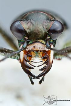 Saltmarsh tiger beetle - Habroscelimorpha severa by Colin Hutton Photography