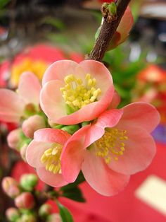 Flowering quince by hale_popoki, via Flickr