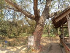 """The """"Killing Tree"""" where the Khmer Rouge murdered Cambodian children by smashing their heads against the tree. The Khmer Rouge was the Cambodian Communist Party led by Pol Pot who is known as the """"Cambodian Hitler"""". In 1975, the Communists forced the entire Cambodian population of 8 million into slave labor camps in the countryside, which became known as the """"Killing Fields"""". Between 1975 and 1979 they managed to murder two million of their own people. (photo credit Nehemiah Gordon)"""