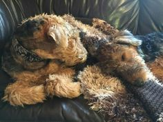 Snuggling Airedales