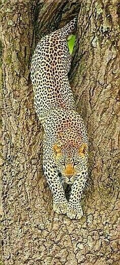 Leopards are nocturnal animals. During the day, they rest in thick brush or in trees. Leopards are solitary, preferring to live alone. Nature Animals, Animals And Pets, Funny Animals, Cute Animals, Wild Animals, Baby Animals, Nocturnal Animals, Beautiful Cats, Animals Beautiful