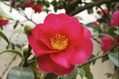 Camellia sasanqua Red  La Camellia sasanqua (Camelia sasanqua) è un arbusto con portamento da eretto ad espanso, si differenzia dalla pianta di Camelia japonica per le foglie