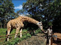 Conozca el centro para la protección de Jirafas de Rothschild en Kenia. Visite nuestra página y sea parte de nuestra conversación: http://www.namnewsnetwork.org/v3/spanish/index.php