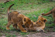 Did you know the name for a baby lion is a cub, whelp or lionet.