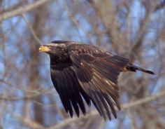 types of eagles | pictures of eagles