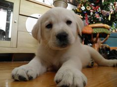 My beautiful present ! Labrador Retriever, Presents, Puppies, Winter, Happy, Dogs, Christmas, Animals, Beautiful