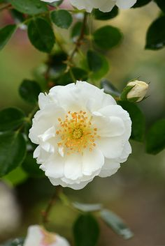 ~'Purity' climbing rose