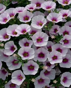 Superbells Pink Gem (Calibrachoa hyprid) heat and low water tolerance; trailing up to
