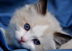 Rag Doll Cat Seal Point Blue-Gem Ragdoll photo Gallery - Photos of Ragdoll Cats and kittens - A Caring and Supportive Dad won't leave Mamas Side as their kids are being born,Childbirth is always a joyous moment, though it can be stressful at times. Puppies And Kitties, Cute Cats And Kittens, Kittens Cutest, Ragdoll Cat Colors, Ragdoll Cats, Baby Animals, Cute Animals, Neko, Beautiful Cats