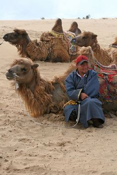 Camel Watchman and his charges resting in the Gobi Desert in Mongolia. (V)