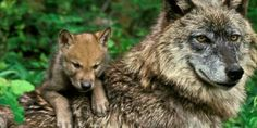 Animal Dads | happy father s day 10 best animal dads animals teach us how to be good ...