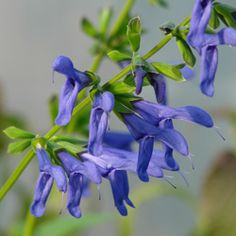 Salvia guaranitica 'Blue Ensign' has large violet-blue flowers and is smaller than other Anise Leaf Sages. Find it at FBTS online nursery.