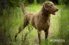 chesapeake bay retriever - Google Search