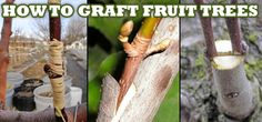 Grafted Tree -- I want nectarines, peaches, plums, apricots Fruit Garden, Garden Trees, Edible Garden, Lawn And Garden, Grafting Fruit Trees, Grafting Plants, Farm H, Apricot Tree, Country Wedding Invitations