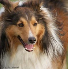 Shadow - Sheltie - 3-24-12   Belongs to a fellow KW agent.  I have always loved Shelties - Shadow is adorable!