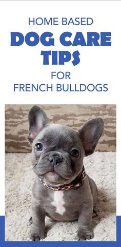 Did you just get a cute and cuddly French Bulldog pup? Those adorable wrinkles can cause some odor producing skin problems. Use these dog care products and keep that little dog skin healthy and the dog smell at bay! #squishface #bulldogpuppies #wrinklypuppies #dogskinproblems English Bulldog Care, French Bulldog Facts, French Bulldog Puppies, French Bulldogs, Dog Skin Allergies, Wrinkle Dogs, Dog Hot Spots, Itchy Dog, Dog Smells