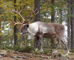Santa Claus' reindeer land is in Pello in the Tornio Valley. Pello is located next to Santa's hometown Rovaniemi, and … Lapland Finland, Salmon Fishing, Arctic Circle, Christmas Traditions, Maa, Reindeer, Cool Pictures, Wildlife, Pets