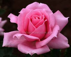 Princess Margaret A large luminous bright pink rose of excellent form, with 30 unfading petals. Growth is vigorous and upright, the green foliage is of great hardiness.