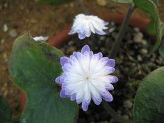Hepatica nobilis var japonica Seihou  || I love this