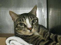 2 year old Joey needs out of NYCACC NOW!!! TO BE DESTROYED 5/19/13 Brooklyn Center  My name is JOEY. My Animal ID # is A0964885. I am a neutered male blk tiger domestic sh mix. The shelter thinks I am about 2 YEARS   I came in the shelter as a STRAY on 05/10/2013 from NY 11207, owner surrender reason stated was STRAY.   MOST RECENT MEDICAL INFORMATION AND WEIGHT 05/18/2013 Exam Type RE-EXAM - Medical Rating is 3 C - MAJOR CONDITIONS , Behavior Rating is EXPERIENCE, Weight 12.2 LBS.