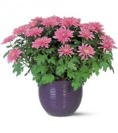 Chrysanthemum morifolium Removes benzene, formaldehyde and trichloroethylene from the air, also xylene, toluene and ammonia.