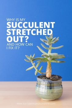 Are your succulents growing tall instead of tight and compact? While this is common its a sign your succulent isnt getting enough light. Read this post to find out how to fix this problem and ensure your succulents are healthy! Succulent Care, Succulent Gardening, Succulent Terrarium, Planting Succulents, Garden Plants, Container Gardening, Indoor Plants, House Plants, Planting Flowers
