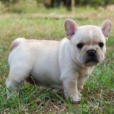 hey @trippswag, i think i need this chubby little guy for #nationalpuppyday!  #please #ineedapuppy #frenchbulldog #chubbypuppy #imeanlookathim