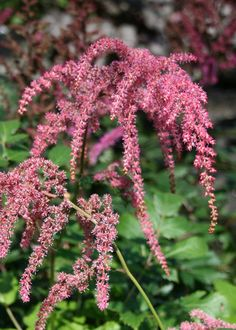 Astilbe comes in a variety of colors and adds some height to your shade garden, too. This can be a good alternative to impatiens, which is being killed off by downy mildew. Photo from Mischler's Florist and Greenhouses.
