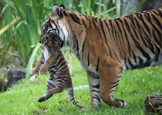 A two-month-old Sumatran tiger cub is carried by its mother, Leanne, in their enclosure at the San Francisco Zoo on April 12, 2013 in San Francisco