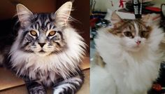 Cats Grow Magnificent Winter Manes. They May Just be Part Lion! - Love Meow