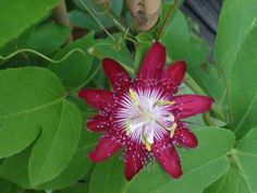 'Ruby' passion flower