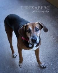 Van Halen is an adoptable Hound Dog in McKinney, TX. We do not have a facility to house the dogs in our program. They are all kept in foster homes until they are adopted. Therefore, if you are interes...