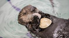 """Sea otters eat of their weight EVERY day! Not only is much of their food restaurant-quality, it's also sustainably-sourced. This """"eat like a sea otter"""" by choosing Cute Wild Animals, Baby Animals, Baby Giraffes, Baby Sea Otters, Otter Pup, Shedd Aquarium, Otter Love, River Otter, Whippet"""