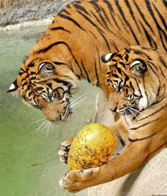 Two male Sumatran tiger cubs play with their new toy at the Los Angeles Zoo and Botanical Gardens.