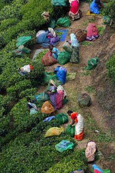 """Tea plantation . Kerala """"Repinned by Keva xo""""."""
