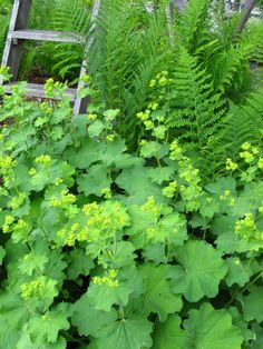 Alchemilla mollis, easy care spreading perennial that mounds over the edge of the garden with lime sprays of flowers, great for cut arrangements.